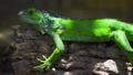 Wonderful calm deep green reptilian species 36396711