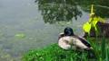 Wild nature duck bird sitting calmly on green 36396714