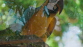 Incredible colorful tropical species macaw bird 36396715