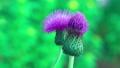 Beautiful lilac violet purple blooming flower 36396716
