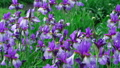 Beautiful lilac violet iris blooming flower tender 36396718