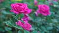 Incredible pink rose blooming flower tender 36396719