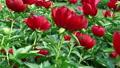 Fascinating red blooming flower tender blossom 36396721