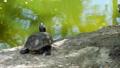Lovely little grey turtle tortoise sitting calmly 36396722