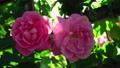 Incredible pink blooming flower tender blossom 36396725