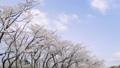 fixed photography, cherry blossom, cherry tree 36494902
