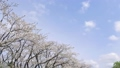 moving shot, moving photography, cherry blossom 36494903