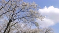 cherry blossom, cherry tree, yoshino cherry 36494905