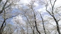 moving shot, moving photography, cherry blossom 36494906