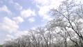 fixed photography, cherry blossom, cherry tree 36494908