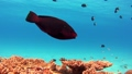 沖繩Akajima的水下射擊 36524531
