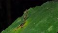 Stilt-legged flies on leaves. 36574030