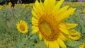 Yellow sunflowers growing in field 36593169