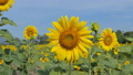 Sunflowers growing in field 36593170