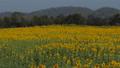 Sunflowers growing in field 36593171