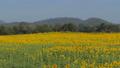 Sunflowers growing in field 36593172