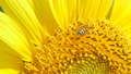 Bee working on sunflower in summer day. 36593496