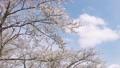 cherry blossom, cherry tree, yoshino cherry 36593504