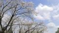 cherry blossom, cherry tree, yoshino cherry 36593505