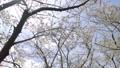 cherry blossom, cherry tree, yoshino cherry 36593506