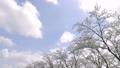 cherry blossom, cherry tree, yoshino cherry 36593507
