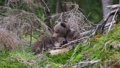 Two funny bear cubs playing in forest 36671075