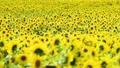 해바라기, 밭, 꽃밭 36856056