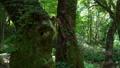ブナ林の風景 パンニング 36869681