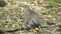 동물, 원숭이, 마카크 36885013