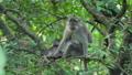 동물, 원숭이, 마카크 36885045