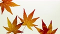 Stop motion view of maple leaves 36965794