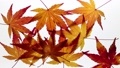 Stop motion view of maple leaves 36965795