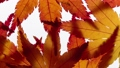 Stop motion view of maple leaves 36965796
