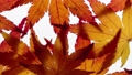 Stop motion view of maple leaves 36965797
