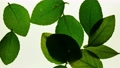 Stop motion view of green leaves 36965798
