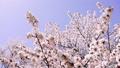 Cherry blossoms (fix shooting) 37052577