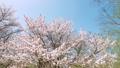 桜(スタビライザー パン撮影) 37052578