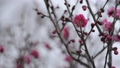 Red plum and snow 37124520