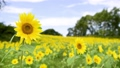 ヒマワリ ひまわり 向日葵の動画 37129102