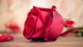 ดอกไม้บาน,ดอกไม้,กลีบ 37219239