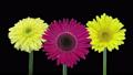 タイムラプス プランツ 植物の動画 37301308