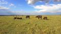 buffalo, animal, savanna 37352270