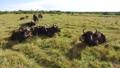 buffalo, bull, animal 37352272