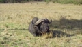buffalo, bull, animal 37352278