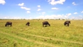 buffalo, animal, africa 37352280
