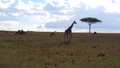 giraffe, animal, africa 37352322