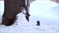 動物 冬 エゾリスの動画 37353943