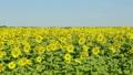 해바라기, 꽃, 화초 37513343