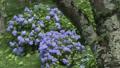 大仏公園の紫陽花 37547530