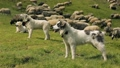 sheep, herd, field 37709728